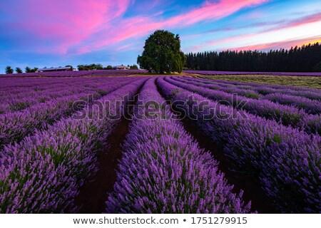 Veld lavendel tasmanië Australië paars Stockfoto © roboriginal