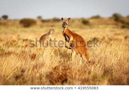 小さな · 赤 · カンガルー · 家族 · 赤ちゃん · 風景 - ストックフォト © artush