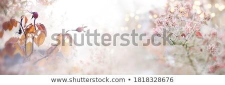 Hawthorn blossoms close-up Stock photo © hraska