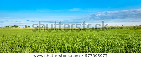 Panorama of growing spring cereals. Stock photo © lypnyk2
