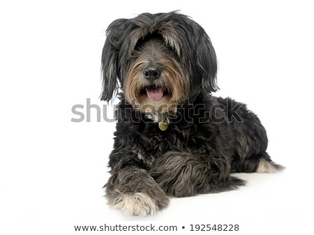 wired hair mixedbreed dog in a white background stock photo © vauvau