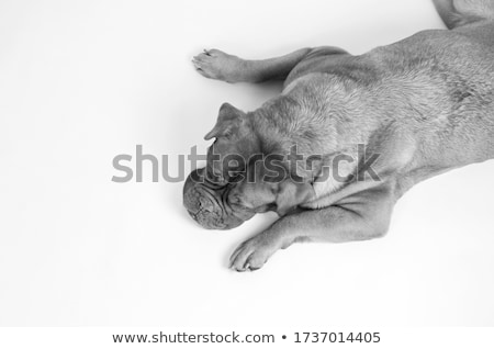 bordeaux dog relaxing in a black studio stock photo © vauvau