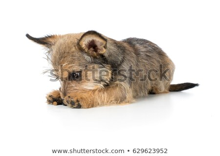puppy schnauzer lying in a white photo studio Stock photo © vauvau