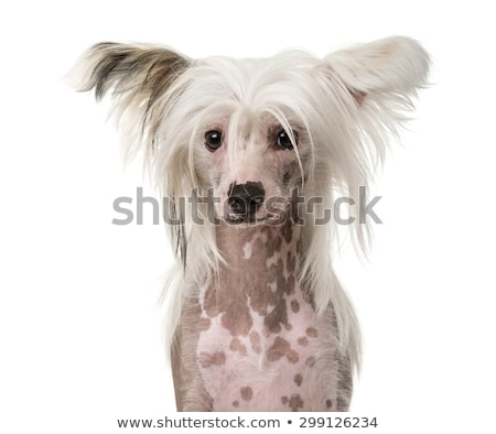 Stock photo: chinese crested dog portrait in a white studio