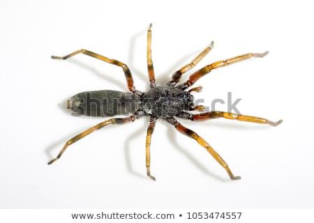 Spider on white Stock photo © Kidza