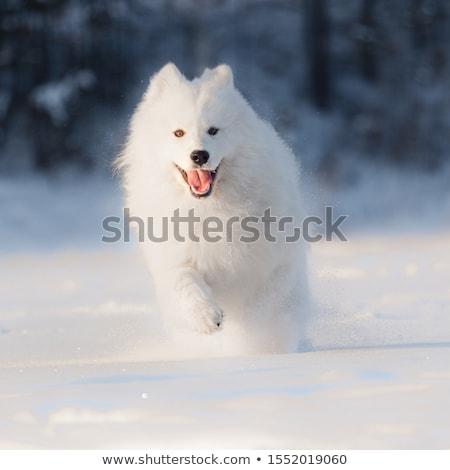 White dog Samoyed play on snow Stock photo © adamr