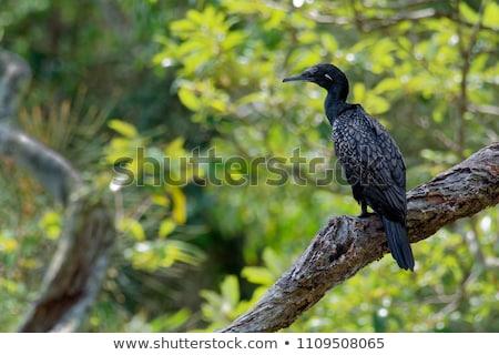 Pequeño negro sesión árbol muerto queensland Australia Foto stock © dirkr
