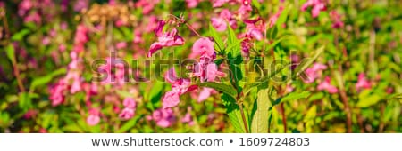 Himalayan balsam  Stock photo © chris2766