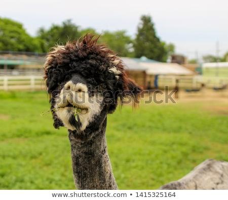 Szőrös alpaka néz hát állat illusztráció Stock fotó © lenm