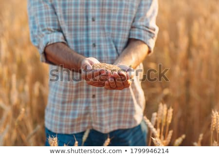Wheat after harvest, farmers hands with crop Stock photo © simazoran