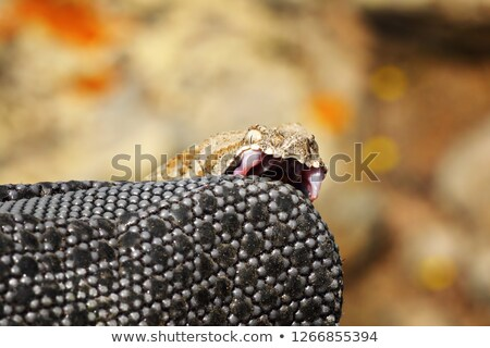 dangerous milos viper biting on herpetologist glove Stock photo © taviphoto