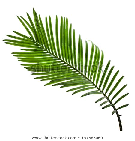 Beautiful lush green fan palm frond Stock photo © jaykayl