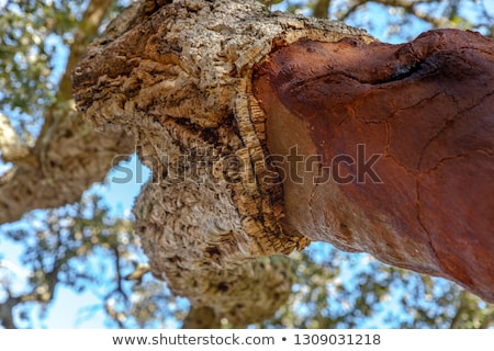 kory · dąb · harmoniczny · wzór · drzewo - zdjęcia stock © phbcz