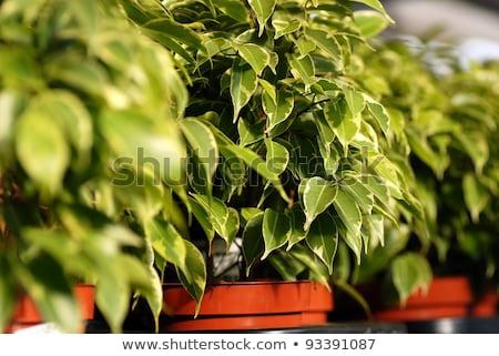 ficus benjamina plants in garden center stock photo © simply