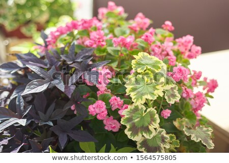 beautiful flower bed with begonia flowers stock photo © julietphotography
