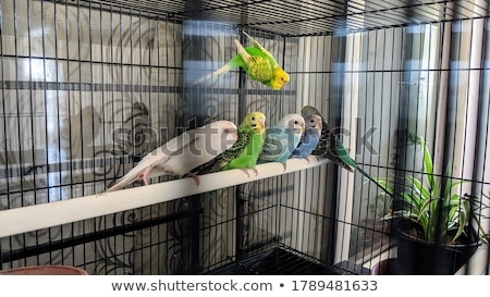 Papużka falista zielone pływające skrzydełka Pióro portret Zdjęcia stock © thomland