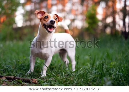 playing jack russel terrier stock photo © cynoclub