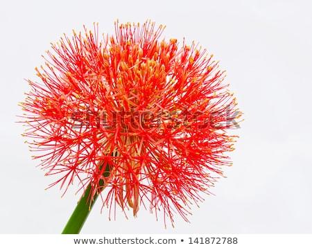 Bola de fuego Lily atención selectiva flor primavera Foto stock © bdspn