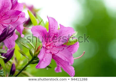 blooming pink rhododendron azalea close up selective focus stock photo © alex_grichenko
