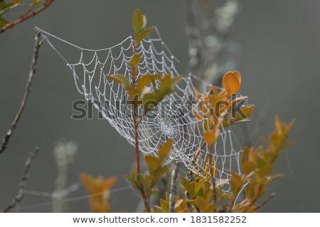 çiy damla örümcek örümcek ağı bitkiler soyut Stok fotoğraf © goce