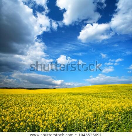 Nemi erőszak tájkép citromsárga mező kék ég tavasz Stock fotó © froxx