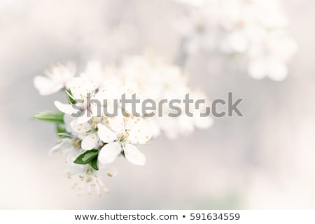 abstract white flower background with space stock photo © dariazu