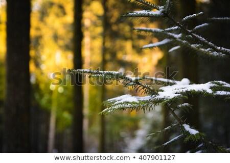 松樹 早晨 露 枝 水 商業照片 © amok