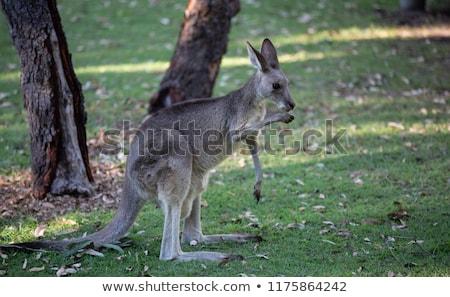 grigio · canguro · mangiare · erba · giovani - foto d'archivio © dirkr