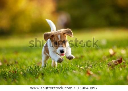 Red dog Stock photo © Paha_L