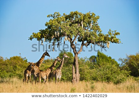 A giraffe under the tree Stock photo © bluering