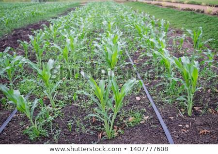 jovem · milho · plantas · úmido · campo - foto stock © stevanovicigor