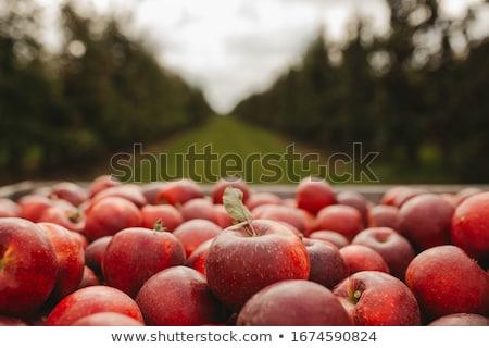 pomar · de · macieiras · vermelho · maduro · maçãs · árvores · comida - foto stock © lightsource