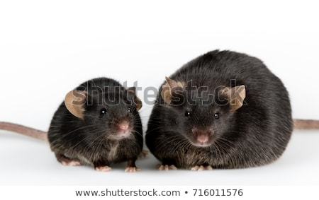 Fatty Mouse Stock photo © derocz