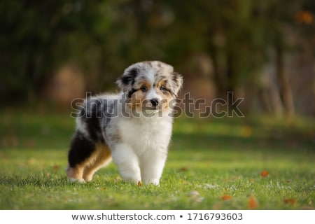 австралийский пастух собака белый мяча животного Сток-фото © cynoclub