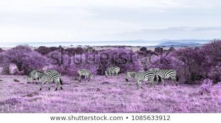 zebras grazing in purple african savannah Stock photo © dolgachov