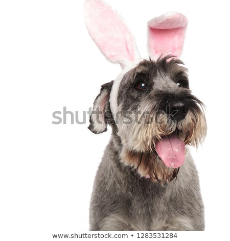close up of panting schnauzer wearing pink rabbit ears Stock photo © feedough