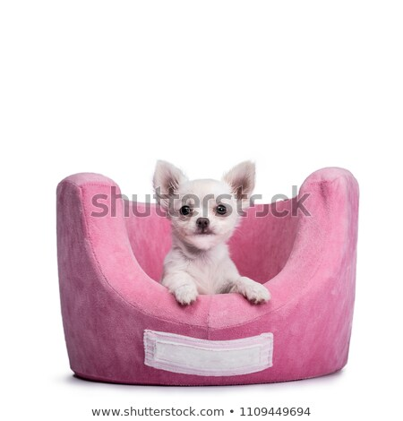 very cute tiny chihuahua puppy isolated on white background stock photo © catchyimages