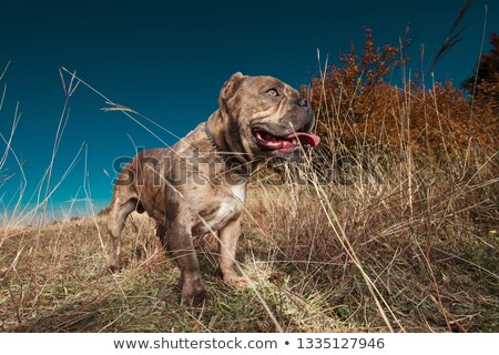 side view of American bully looking away while panting Stock photo © feedough