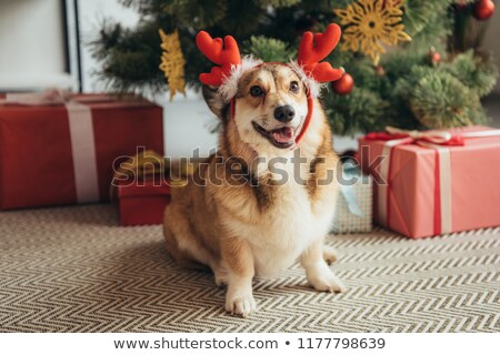 Cute corgi dog in a gift box Stock photo © amaomam