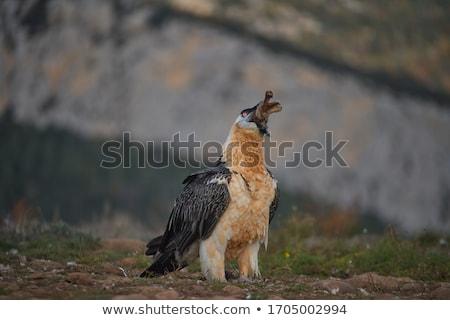 あごひげを生やした ハゲタカ 少年 飛行 見える 餌食 ストックフォト © hedrus