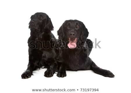 Two flat coated (flatcoat, flattie) retriever dogs  Stock photo © eriklam