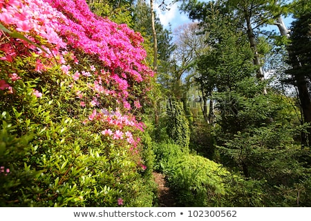 Pink azalea and conifer trees in the old garden  Stock photo © Julietphotography
