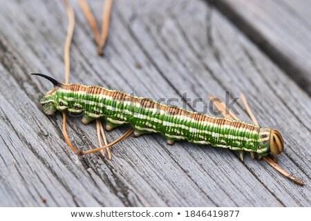 Pinho lagarta ensolarado ao ar livre tiro borboleta Foto stock © prill