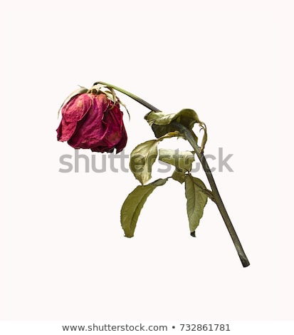 Stock photo: Dead roses