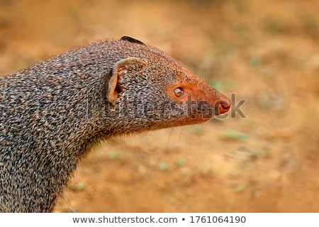Mongoose Stock photo © SRNR