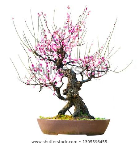 Ameixa flor bonsai folha jardim arte Foto stock © marimorena