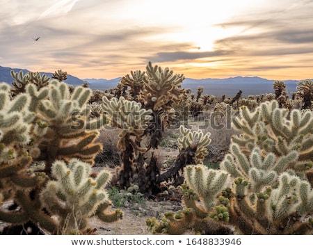 Cholla Cactus Garden Sunset Mojave Desert Joshua Tree National P Stock photo © billperry