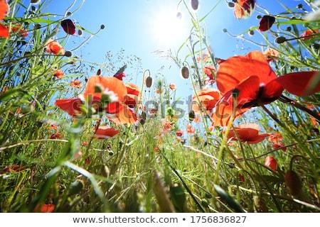 ver · campo · de · grama · raso · grama · natureza - foto stock © mtkang