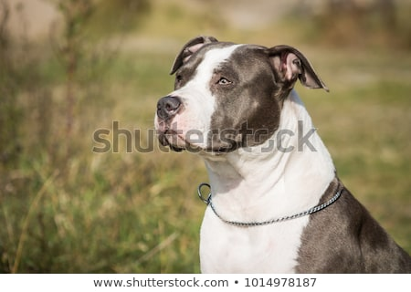 American Staffordshire Terrier dog play in water Stock photo © mady70