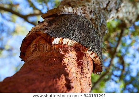 cork trees forest in espadan castellon spain background stock photo © lunamarina